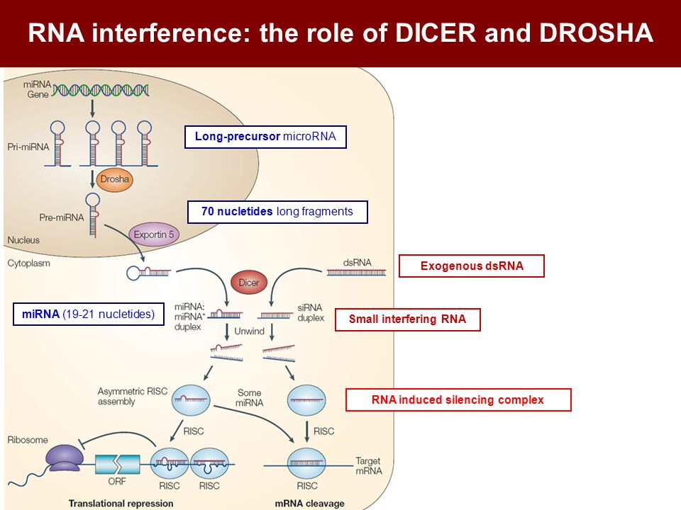RNA interference: the role of DICER and DROSHA Exogenous dsRNA miRNA (19-21 nucletides) Long-precursor microRNA 70 nucletides long fragments Small interfering RNA RNA induced silencing complex