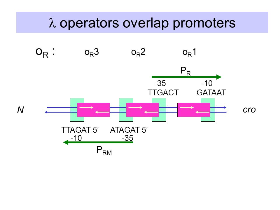  operators overlap promoters oR1oR1oR2oR2 o R : TTGACTGATAAT -10-35 ATAGAT 5'TTAGAT 5' -10-35 oR3oR3 cro N PRPR P RM