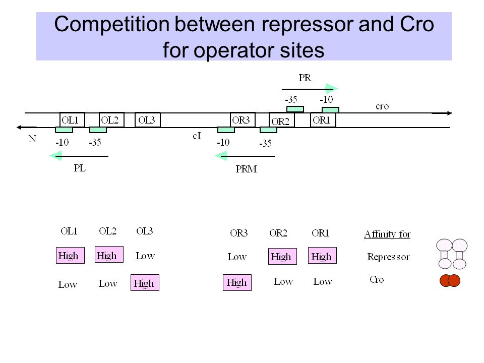 Competition between repressor and Cro for operator sites
