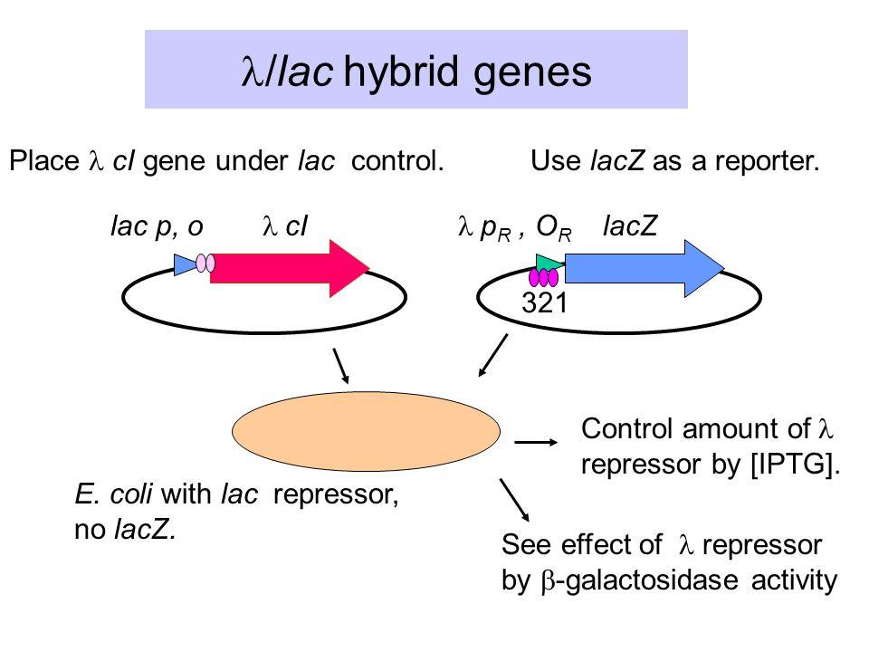 /lac  hybrid genes lac p, o  cI  p R, O R lacZ Place cI gene under lac control.
