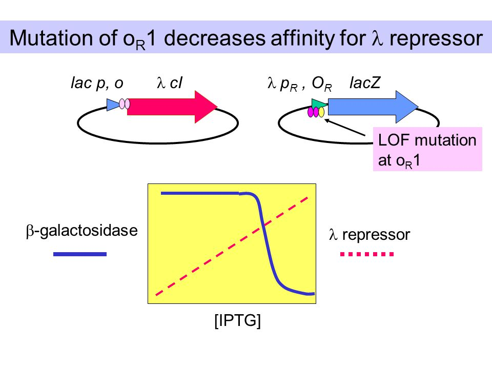 Mutation of o R 1 decreases affinity for repressor lac p, o  cI  p R, O R lacZ  -galactosidase [IPTG] repressor LOF mutation at o R 1