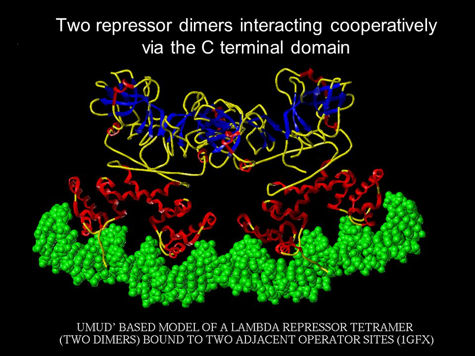 Two repressor dimers interacting cooperatively via the C terminal domain