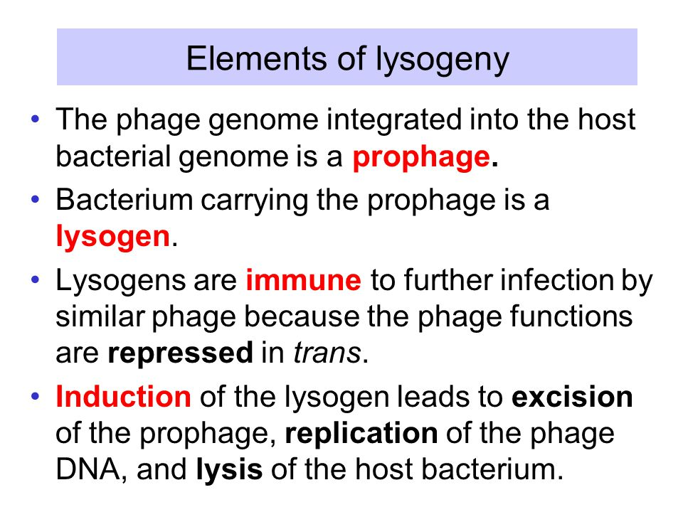 Elements of lysogeny The phage genome integrated into the host bacterial genome is a prophage.