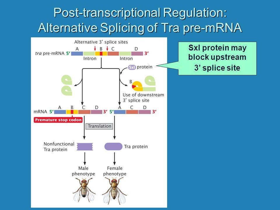 Post-transcriptional Regulation: Alternative Splicing of Tra pre-mRNA Sxl protein may block upstream 3' splice site