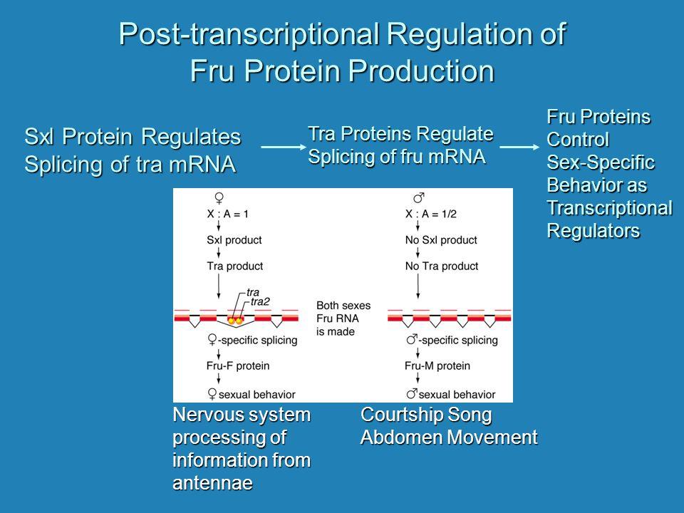 Post-transcriptional Regulation of Fru Protein Production Sxl Protein Regulates Splicing of tra mRNA Tra Proteins Regulate Splicing of fru mRNA Fru Pr