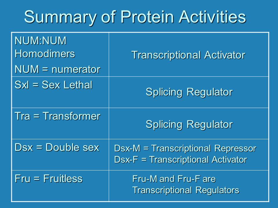 Summary of Protein Activities NUM:NUM Homodimers NUM = numerator Sxl = Sex Lethal Tra = Transformer Dsx = Double sex Fru = Fruitless Transcriptional A