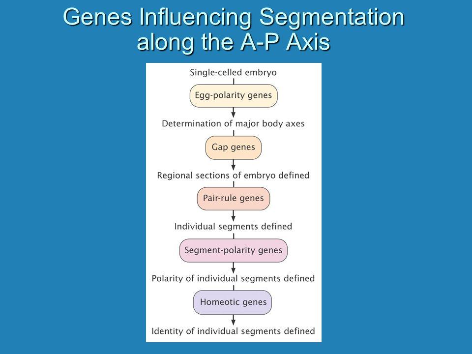 Genes Influencing Segmentation along the A-P Axis