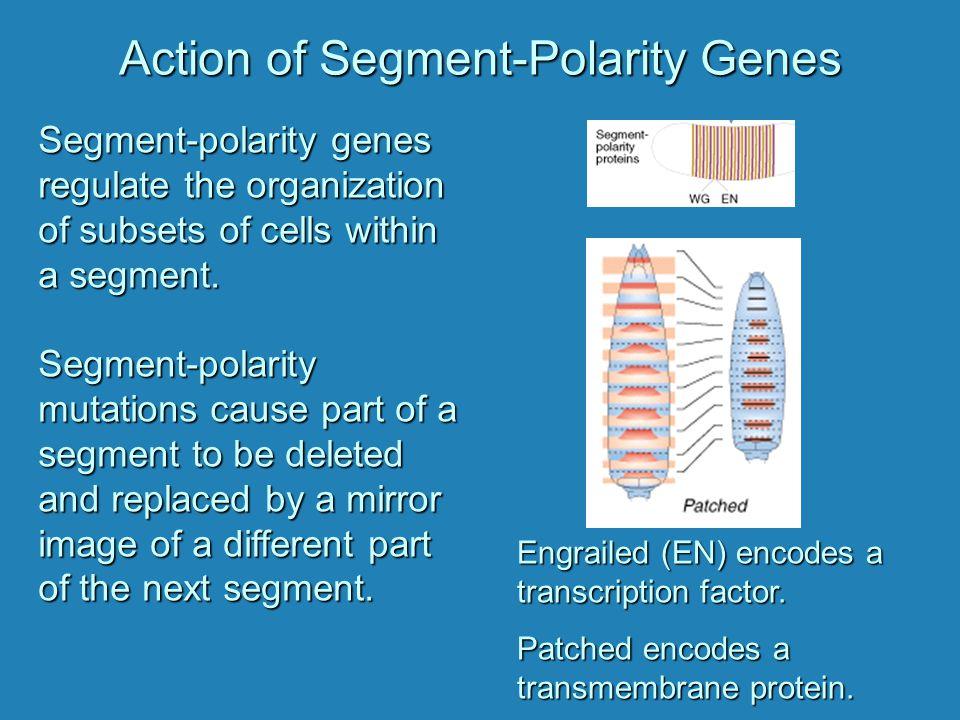 Action of Segment-Polarity Genes Segment-polarity genes regulate the organization of subsets of cells within a segment. Segment-polarity mutations cau