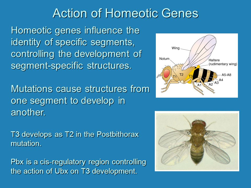Action of Homeotic Genes Homeotic genes influence the identity of specific segments, controlling the development of segment-specific structures. Mutat