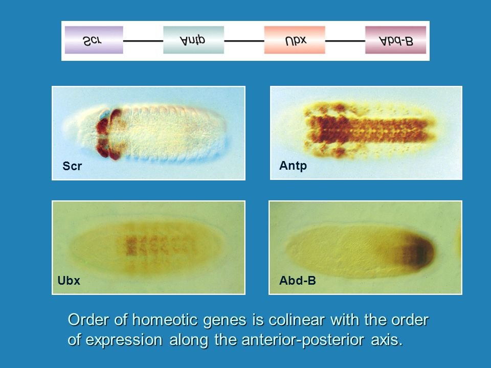 Order of homeotic genes is colinear with the order of expression along the anterior-posterior axis. Scr Antp UbxAbd-B
