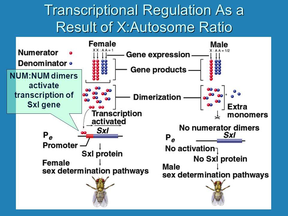 Transcriptional Regulation As a Result of X:Autosome Ratio NUM:NUM dimers activate transcription of Sxl gene