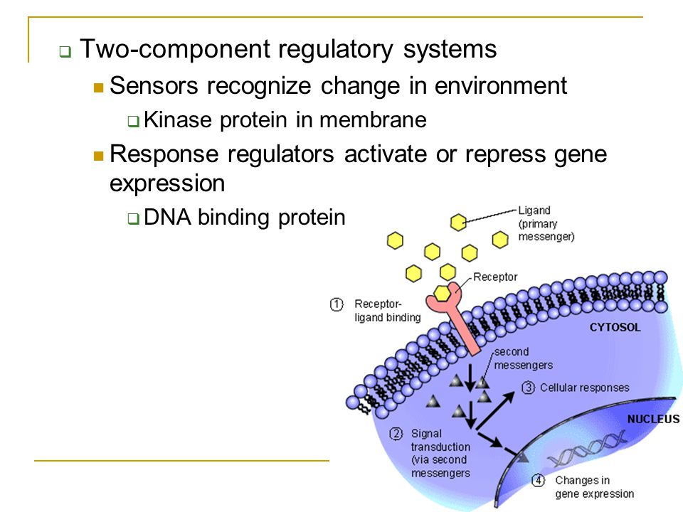  Two-component regulatory systems Sensors recognize change in environment  Kinase protein in membrane Response regulators activate or repress gene e