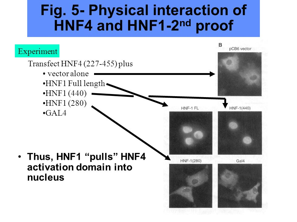 Observe HNF1 interacts with HNF4 at AF2 region (activation region) Fig.