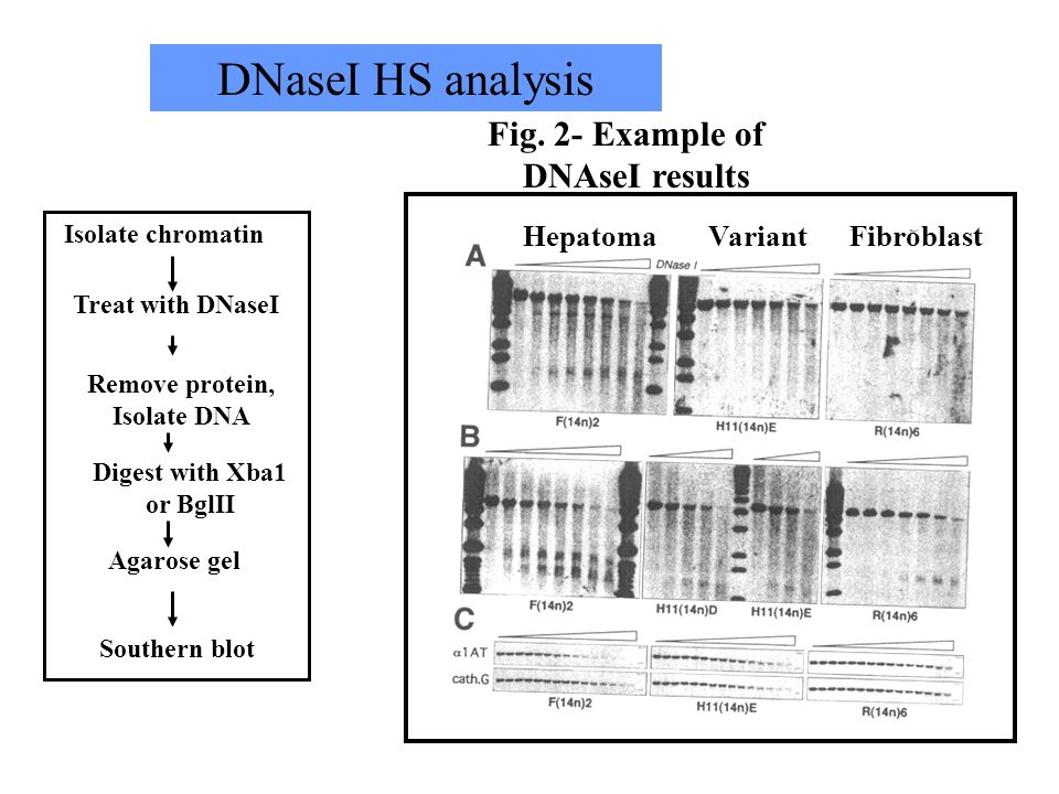 Fig. 13.31 Dnase I hypersensitivity of an active gene Remove protein, Isolate DNA Treat with DNaseI Isolate chromatin Digest with Xba1 or BglII Southe