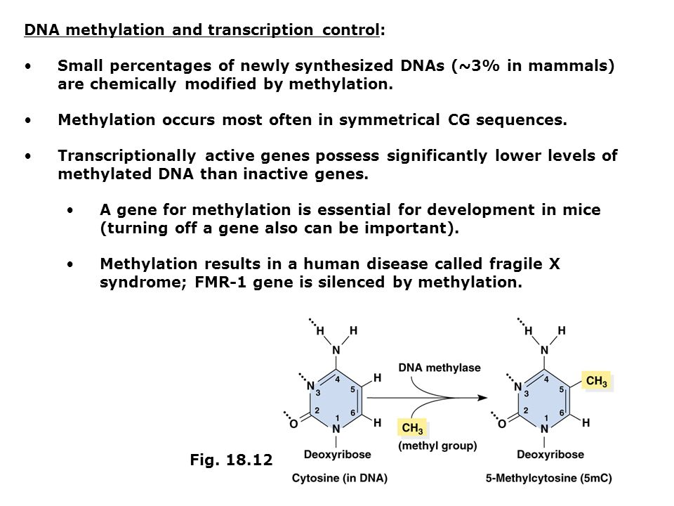 DNA methylation and transcription control: Small percentages of newly synthesized DNAs (~3% in mammals) are chemically modified by methylation. Methyl