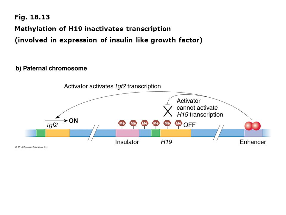 Fig. 18.13 Methylation of H19 inactivates transcription (involved in expression of insulin like growth factor)
