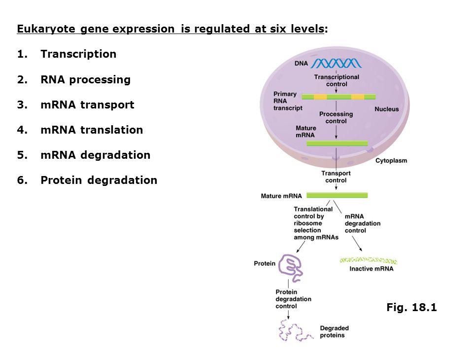 Eukaryote gene expression is regulated at six levels: 1.Transcription 2.RNA processing 3.mRNA transport 4.mRNA translation 5.mRNA degradation 6.Protei