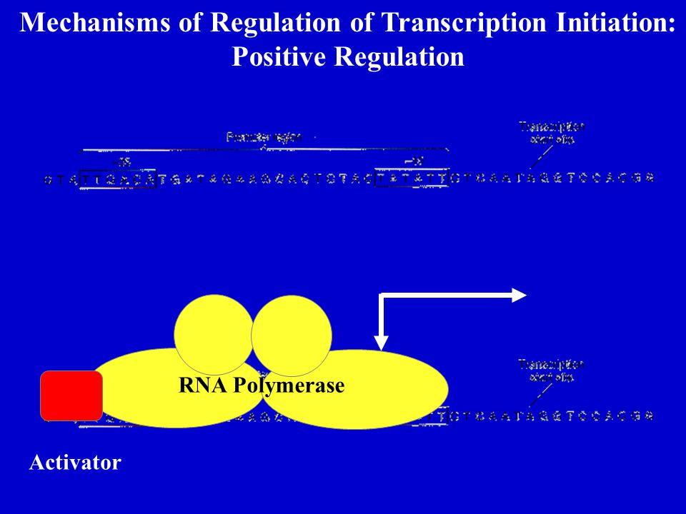 Mechanisms of Regulation of Transcription Initiation: Positive Regulation RNA Polymerase Activator