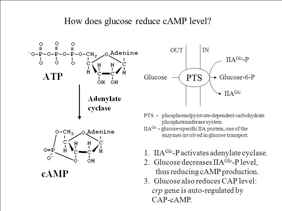 PTS GlucoseGlucose-6-P IIA Glc -P IIA Glc OUT IN How does glucose reduce cAMP level? 1. IIA Glc -P activates adenylate cyclase. 2. Glucose decreases I