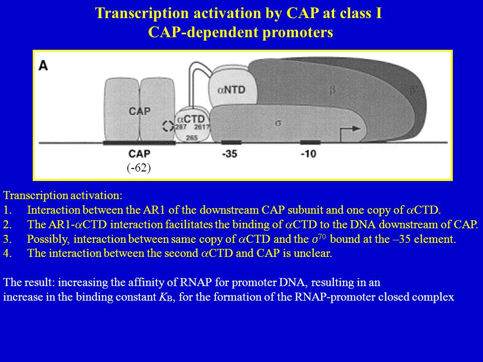 Transcription activation by CAP at class I CAP-dependent promoters (-62) Transcription activation: 1.Interaction between the AR1 of the downstream CAP