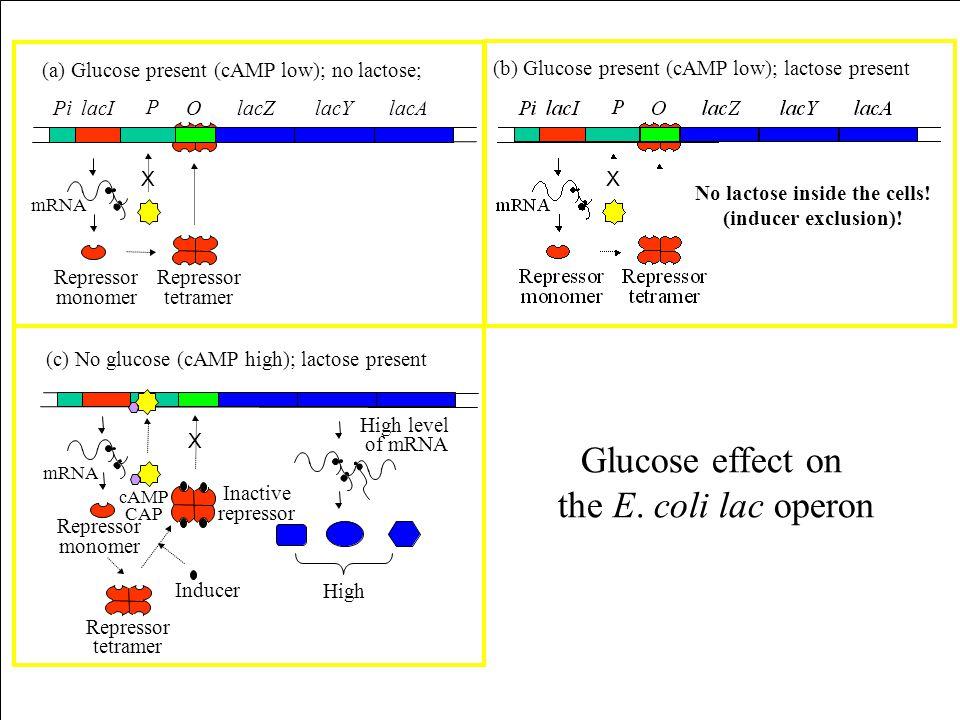 (a) Glucose present (cAMP low); no lactose; lacIPi P OlacYlacZlacA Repressor monomer Repressor tetramer mRNA X (b) Glucose present (cAMP low); lactose