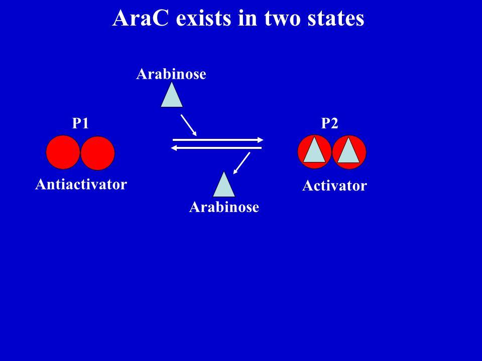 AraC exists in two states P1P2 Arabinose Activator Antiactivator