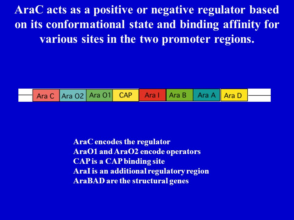 AraC acts as a positive or negative regulator based on its conformational state and binding affinity for various sites in the two promoter regions. Ar