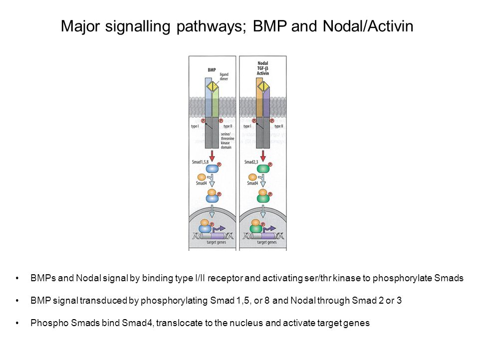 Major signalling pathways; Nodal fine tuning Nodal can be regulated at the level of conversion of pro-nodal to nodal by Furin/PACE4 Cer1 and Lefty 1 are diffusible antagonists of nodal.
