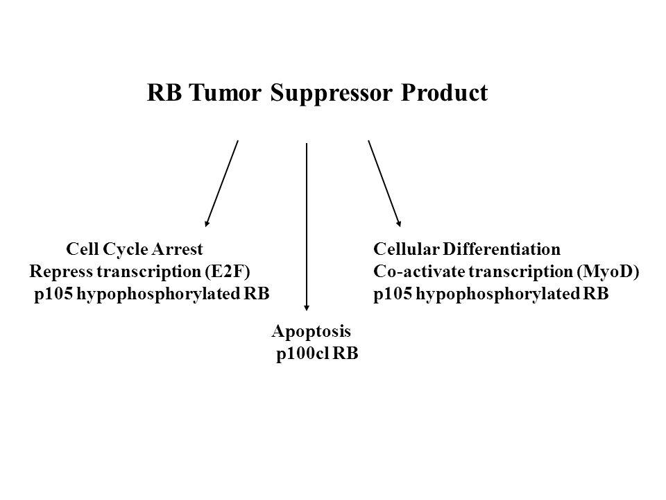 RB Tumor Suppressor Product Cell Cycle Arrest Repress transcription (E2F) p105 hypophosphorylated RB Cellular Differentiation Co-activate transcriptio