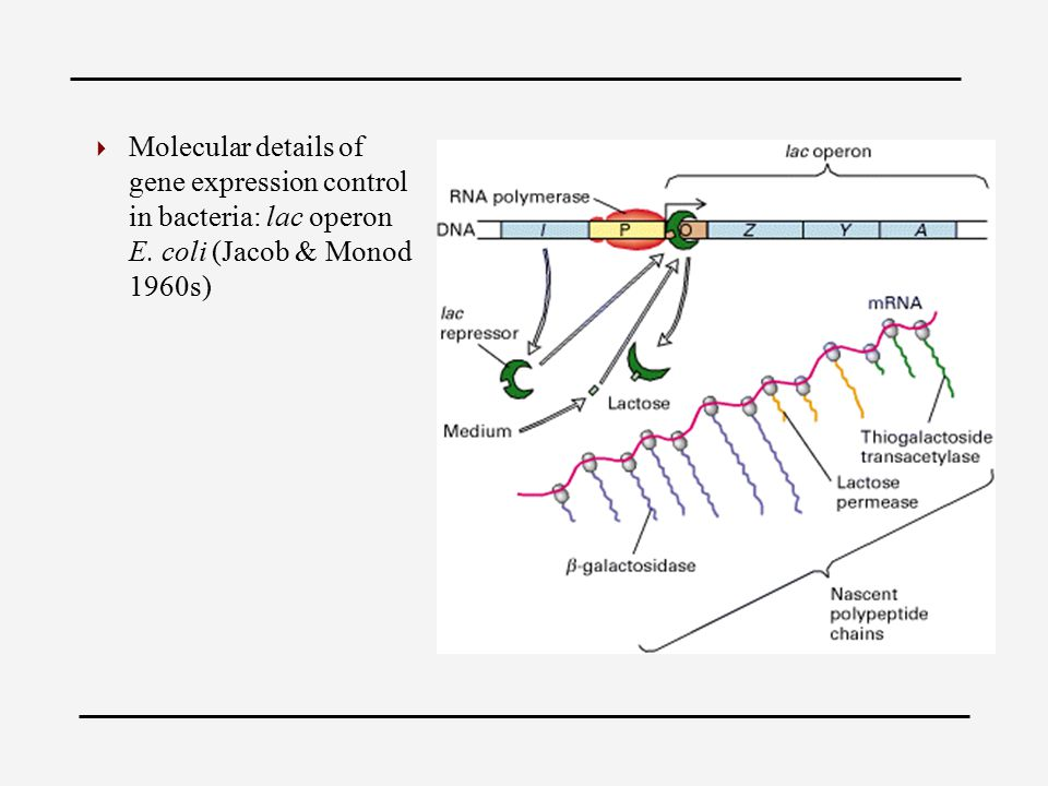  Molecular details of gene expression control in bacteria: lac operon E.