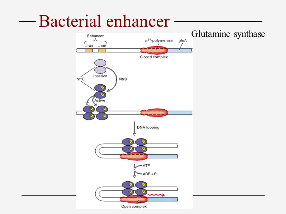 Bacterial enhancer Glutamine synthase