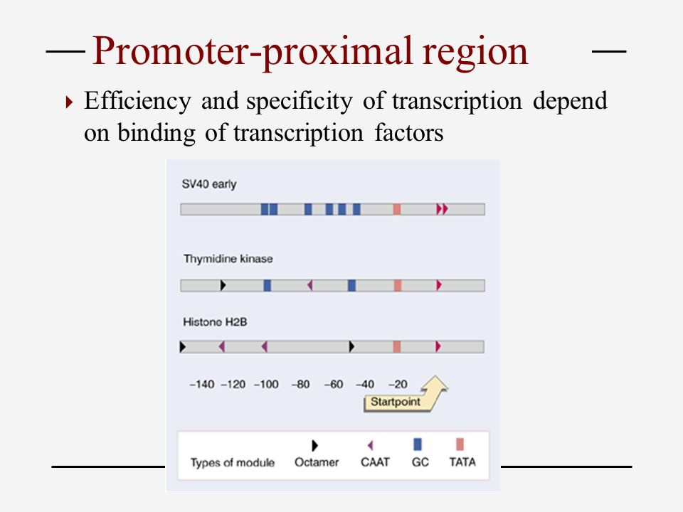 Promoter-proximal region  Efficiency and specificity of transcription depend on binding of transcription factors