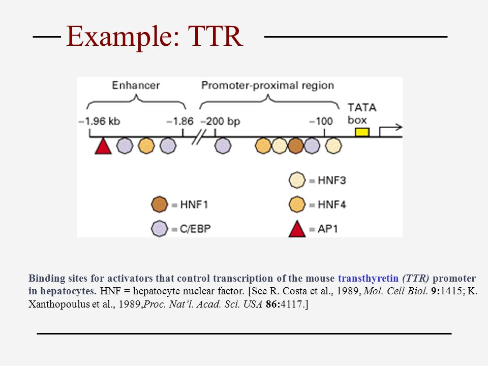 Binding sites for activators that control transcription of the mouse transthyretin (TTR) promoter in hepatocytes.