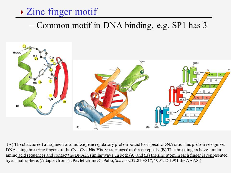  Zinc finger motif –Common motif in DNA binding, e.g. SP1 has 3 (A) The structure of a fragment of a mouse gene regulatory protein bound to a specifi