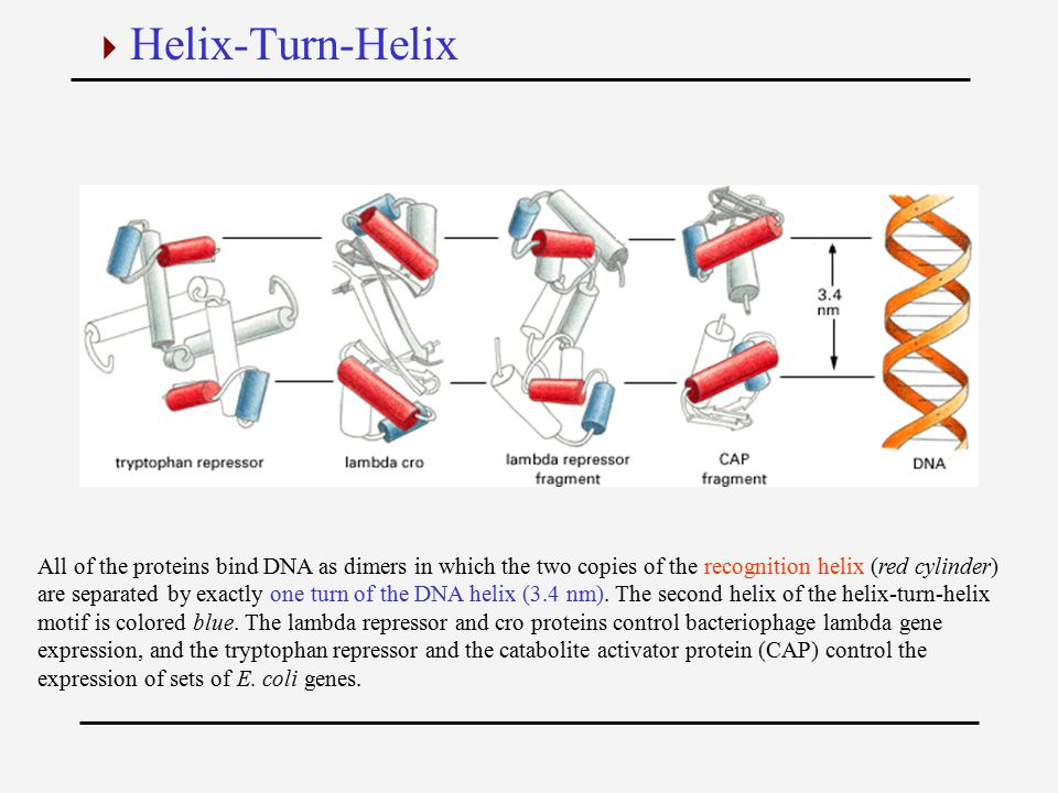 All of the proteins bind DNA as dimers in which the two copies of the recognition helix (red cylinder) are separated by exactly one turn of the DNA helix (3.4 nm).