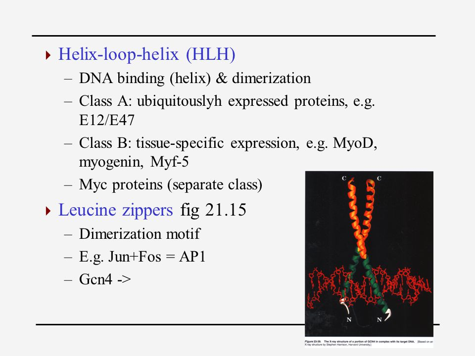  Helix-loop-helix (HLH) –DNA binding (helix) & dimerization –Class A: ubiquitouslyh expressed proteins, e.g.