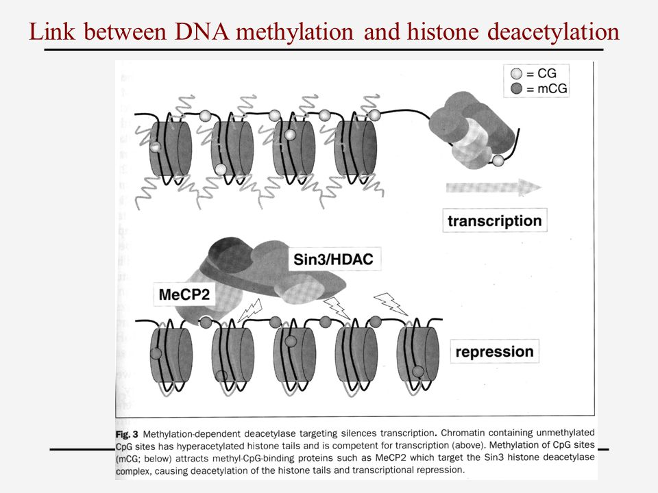 Link between DNA methylation and histone deacetylation