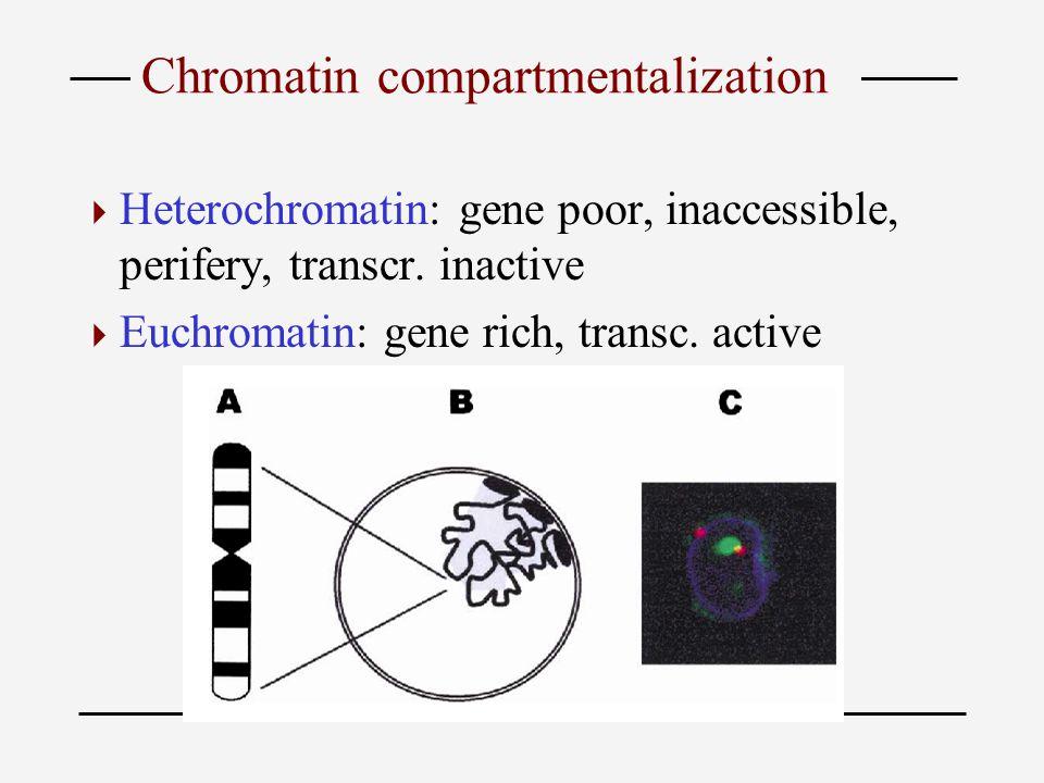 Chromatin compartmentalization  Heterochromatin: gene poor, inaccessible, perifery, transcr. inactive  Euchromatin: gene rich, transc. active