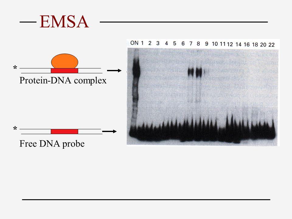 Free DNA probe * * Protein-DNA complex EMSA