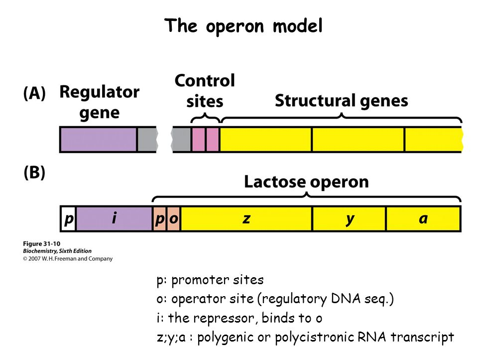 The operon model p: promoter sites o: operator site (regulatory DNA seq.) i: the repressor, binds to o z;y;a : polygenic or polycistronic RNA transcri