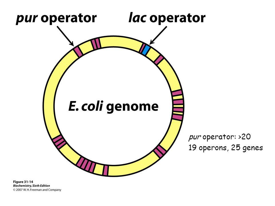pur operator: >20 19 operons, 25 genes