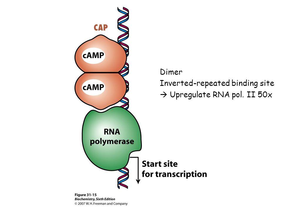 Dimer Inverted-repeated binding site  Upregulate RNA pol. II 50x