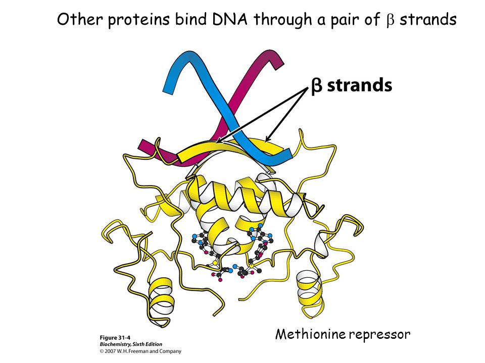 Other proteins bind DNA through a pair of  strands Methionine repressor