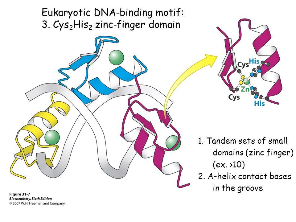 Eukaryotic DNA-binding motif: 3. Cys 2 His 2 zinc-finger domain 1.
