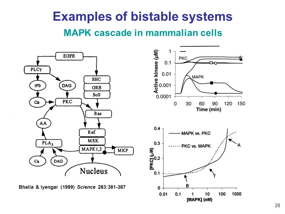 Examples of bistable systems MAPK cascade in mammalian cells Bhalla & Iyengar (1999) Science 283:381-387 28