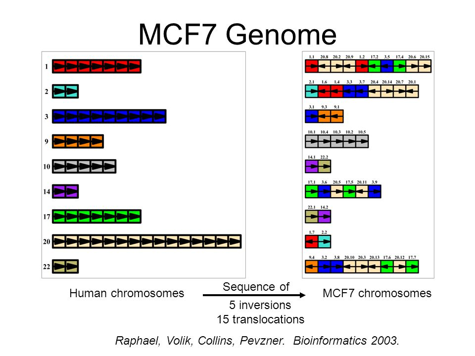 MCF7 Genome Human chromosomesMCF7 chromosomes 5 inversions 15 translocations Raphael, Volik, Collins, Pevzner.