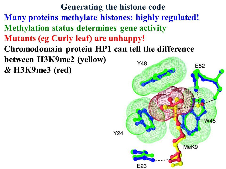 Generating the histone code Many proteins methylate histones: highly regulated! Methylation status determines gene activity Mutants (eg Curly leaf) ar
