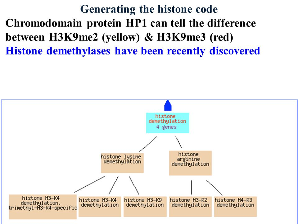 Generating the histone code Chromodomain protein HP1 can tell the difference between H3K9me2 (yellow) & H3K9me3 (red) Histone demethylases have been recently discovered