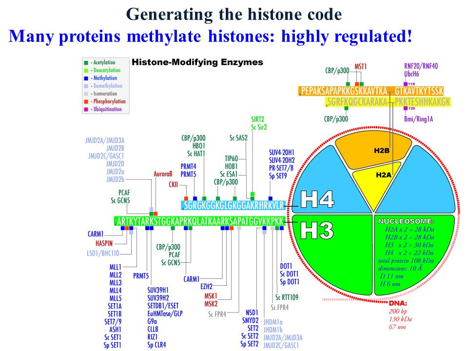 Generating the histone code Many proteins methylate histones: highly regulated!