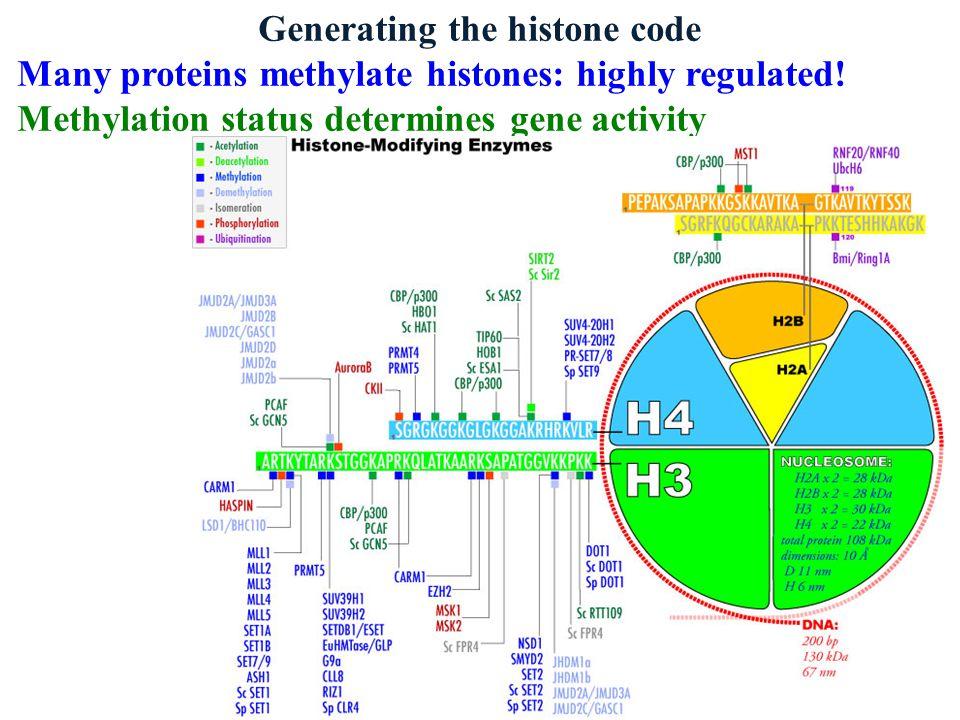 Generating the histone code Many proteins methylate histones: highly regulated! Methylation status determines gene activity